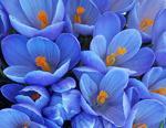 Голубой цвет (правдоискатель)